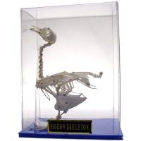 Skeleton: Pigeon