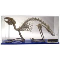 Skeleton: Rabbit