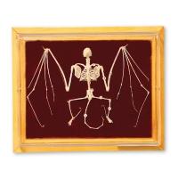 Skeleton: Bat