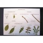 Dichotomous Leaf Key Display.