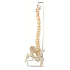 Spine Model, Flexible with Femur Heads & Open Sacrum.