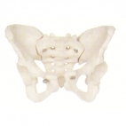 Pelvis Skeleton, Female.