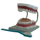 Tooth Care Model W/Brush, 3X.