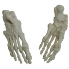 Foot Skeleton Natural Size. 1 Pc.