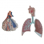 Respiratory System, 2 Pc. Relief Model.