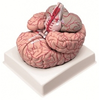 Brain, Natural Size
