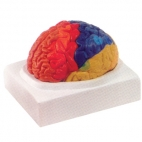 Brain Model, Regional, 2 Pc.