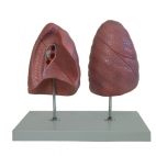 Lung model, left and right. Natural size.
