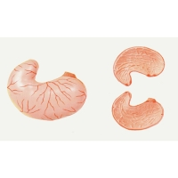 Stomach Model, Natural Size