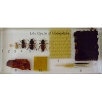Lifecycle of Honeybee (Plastic Mount)