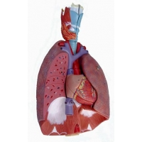 Larynx, Heart and Lung Model Respiratory System 7-Part