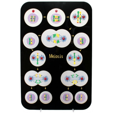 Animal Meiosis Plaque