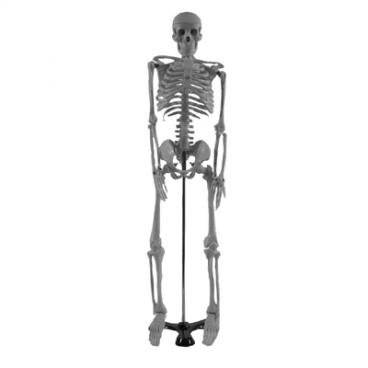 Model: Skeleton Human/Stand. 85cm (Oversize).