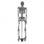 Model: Skeleton Human/Stand. 85cm (Oversize).