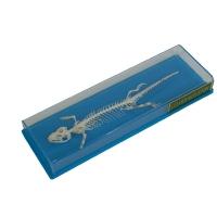Skeleton: Lizard