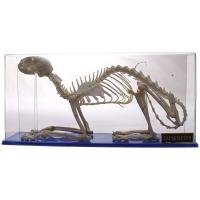 Skeleton: Cat