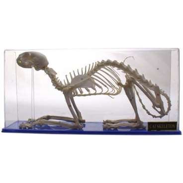 Skeleton: Cat.