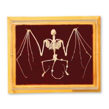 Skeleton: Bat.
