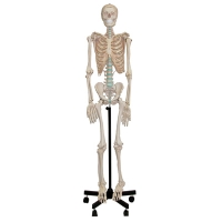 Model Skeleton Human, Natural Size