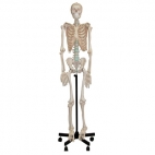 Skeleton Model Human Full *Oversize*.