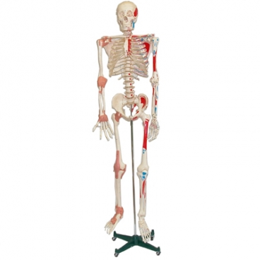Skeleton Model with Muscles. (Ships In 2 Boxes, 1 Oversize).