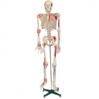 Skeleton Model w/Muscles
