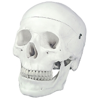 Skull Model, Natural Size, 3 Pc