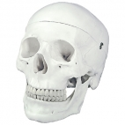 Skull Model, Natural Size 3 Pc.