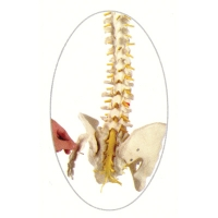 Spine Flex w/Sacrum Open