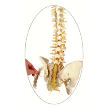 Spine Model, Flexible with Open Sacrum.