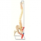 Spine Model, Flexible with Femur Heads/Muscles.