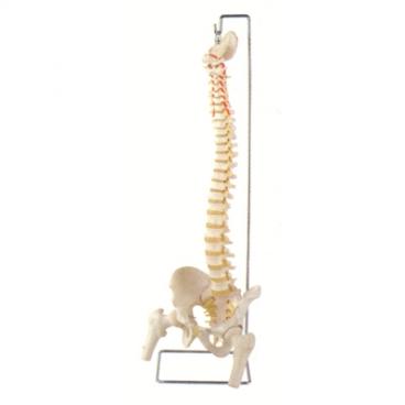 Spine Model, Flexible with Femur Heads & Open Sacrum.