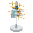 Vertebrae & Spinal Cord Model.
