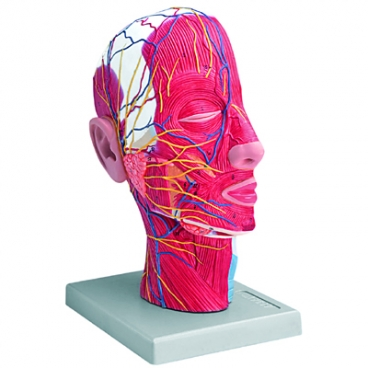 Head Model, Half. with Muscles Nerves Blood Vessels.