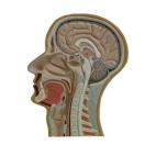 Head, Median Section
