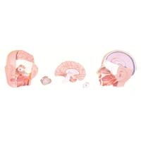 Head Model, Half Dissection