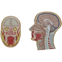 Head, Frontal and Median 2Pc