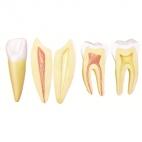 Teeth, 10X Mag, 5 Pc