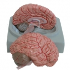 Brain Model, Left & Right,. With Arteries, 2 Pc.