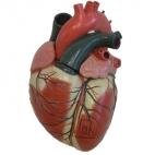 Heart Model, 3X Mag 4 Pc.