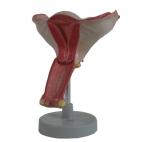 Uterus Model, 1.5X Magnified. 1 Pc.
