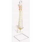 Spinal Column, Natural Size, 3 Piece.
