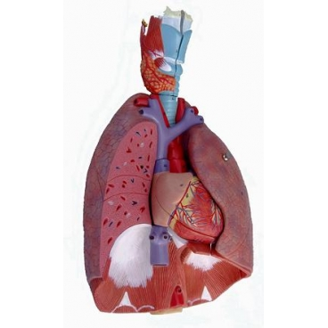 Respiratory System Model. Natural Size, 7 Pc. - Science First