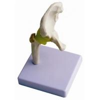 Hip Joint Model  (Half Size)