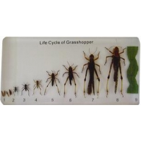 Lifecycle of Grasshopper (Plastic Mount)