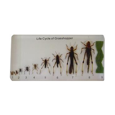 Grasshopper Lifecycle Plastomount.