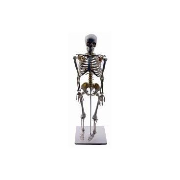 Skeleton Model Human Half Size.  85cm Tall.