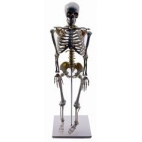 Skeleton Model Human Half Size.  85cm Tall.