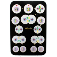 Animal Meiosis Plaque Model