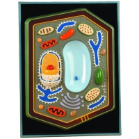 Plant Cell Plaque Model